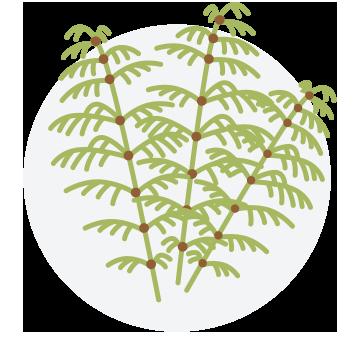 Equisetum-Paardenstaart-Feeling Goods