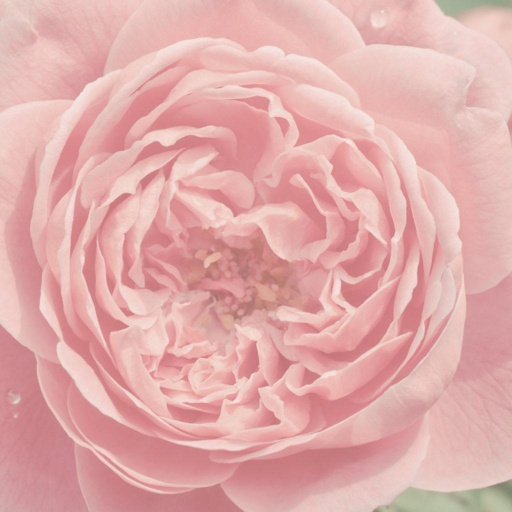 Rosa damascena - Feeling Goods