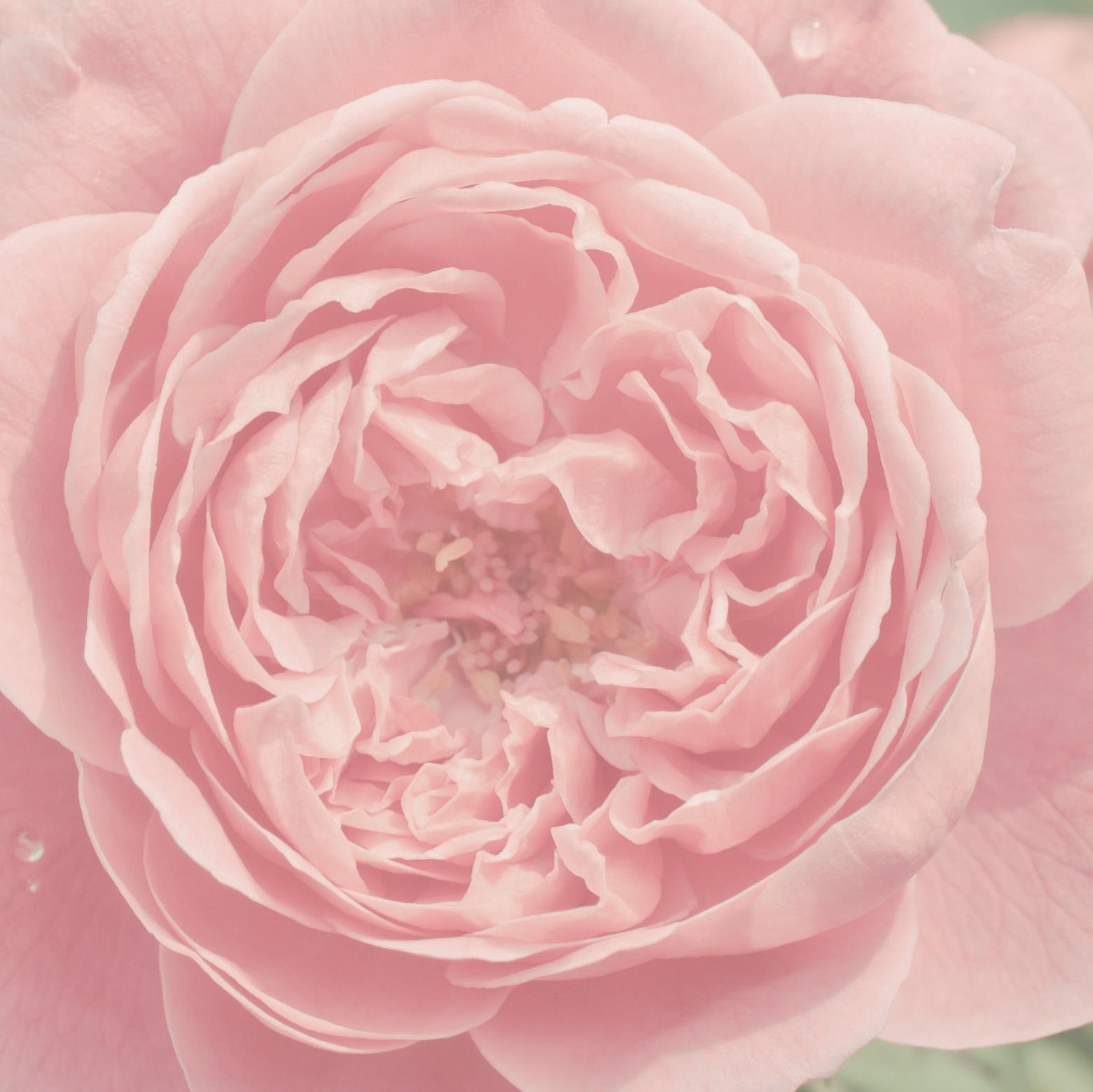 Rosa damascena -Feeling Goods
